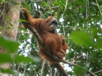 Male orangutans in Sumatra's wild (all pictures: Ellen Meulmann, Anthropological Institute and Museum, University of Zurich)