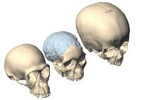 In Taung and the human child, the metopic suture remains unfused along a stretch extending from the fontanelle (the opening at the top of the skull) to the midforehead.