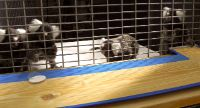 Common marmosets playing: The individual on the right hand side pulls the board for its group mates.