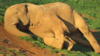 Of all the herbivores, elephants lie on their sides the most often.