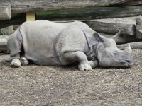 An Indian rhino at rest.