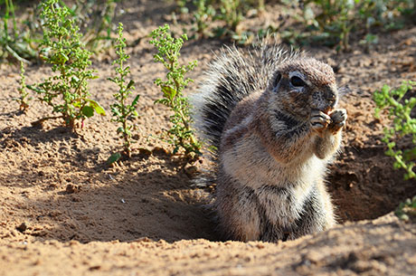 The image shows a Cape ground squirrel hiding his food.