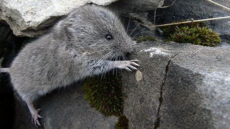The image shows a snow vole in its natural, rocky habitat.
