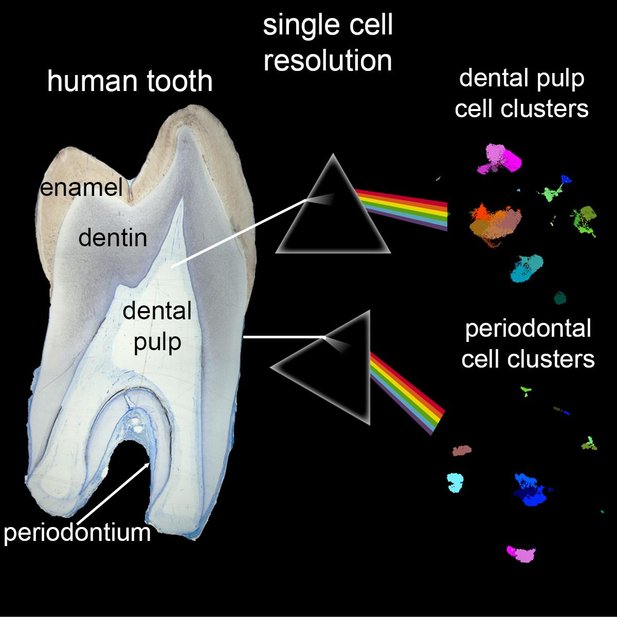 Zusammensetzung Zahn