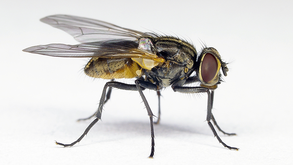 The image shows a close-up view of a housefly.