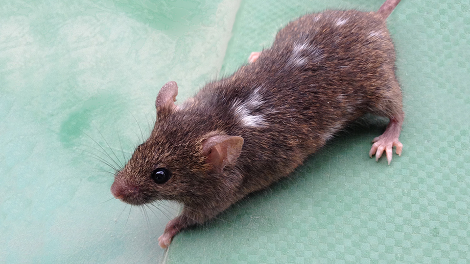 House mouse with white patches on the brown-colored fur