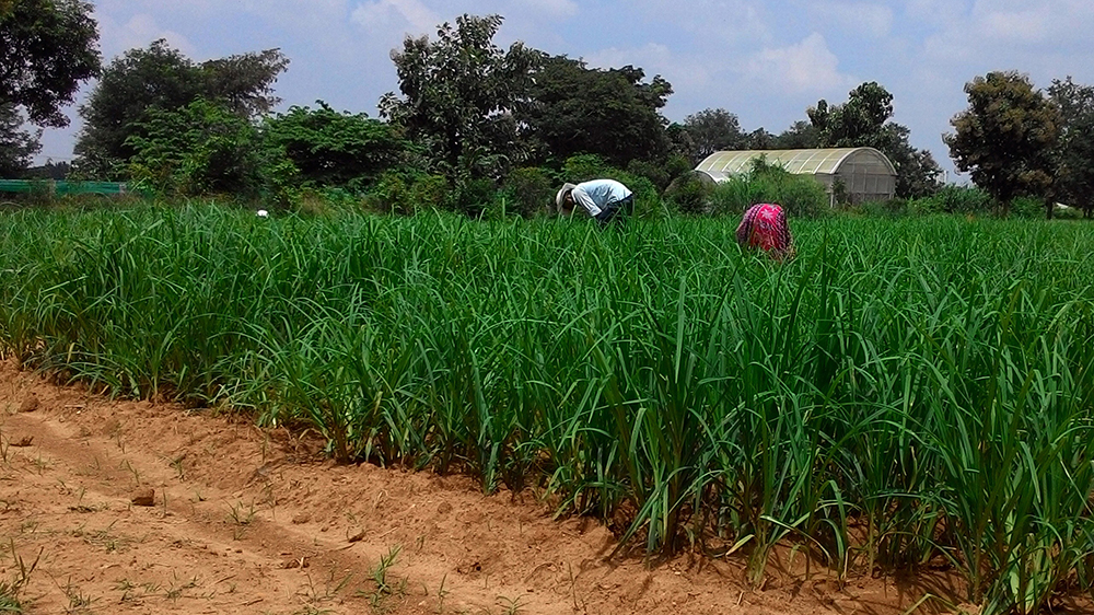 Planting of finger millet