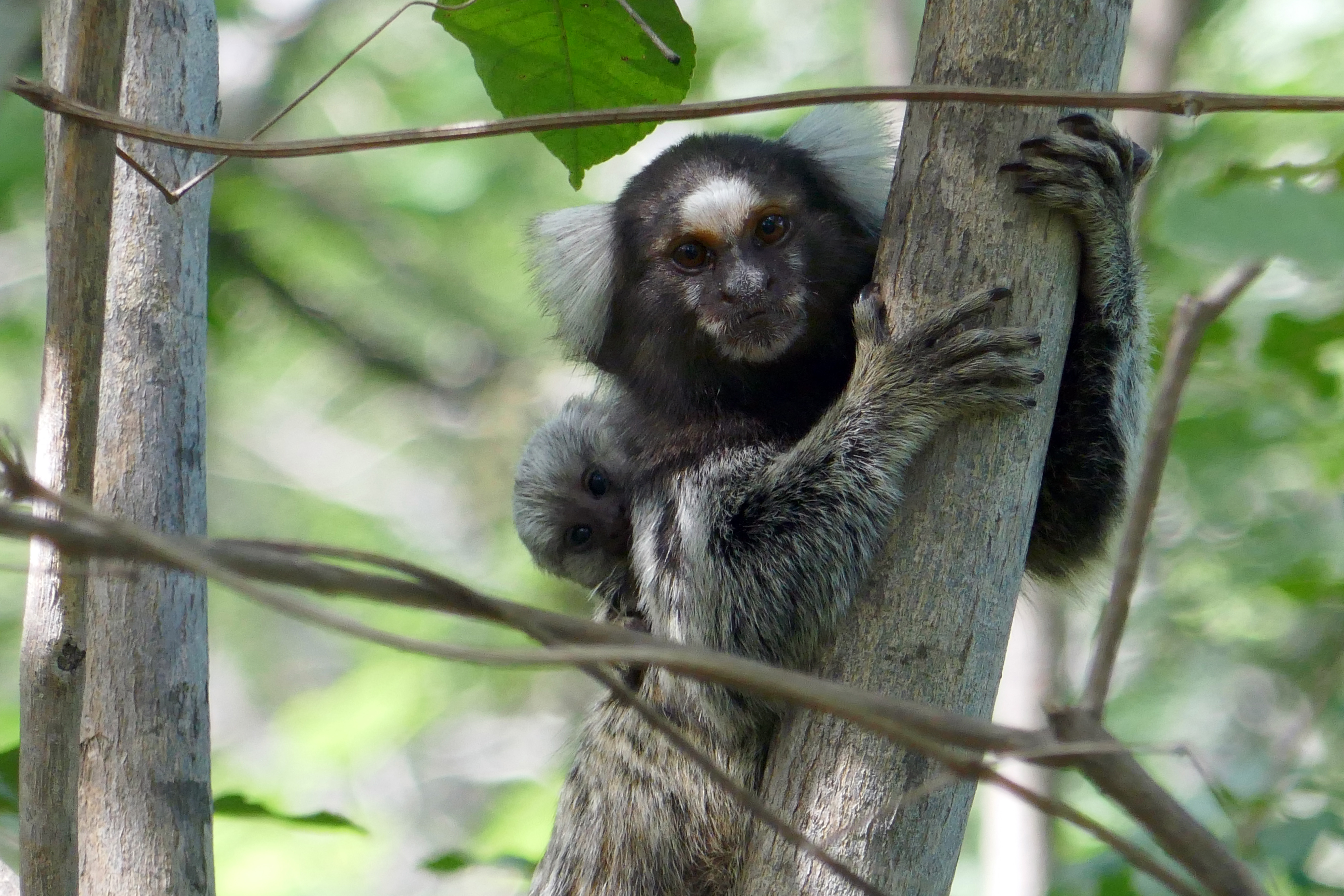 common marmosets in tree