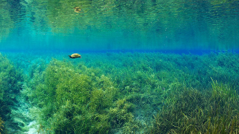 Florida-Rotbauch-Schmuckschildkröte unter Wasser