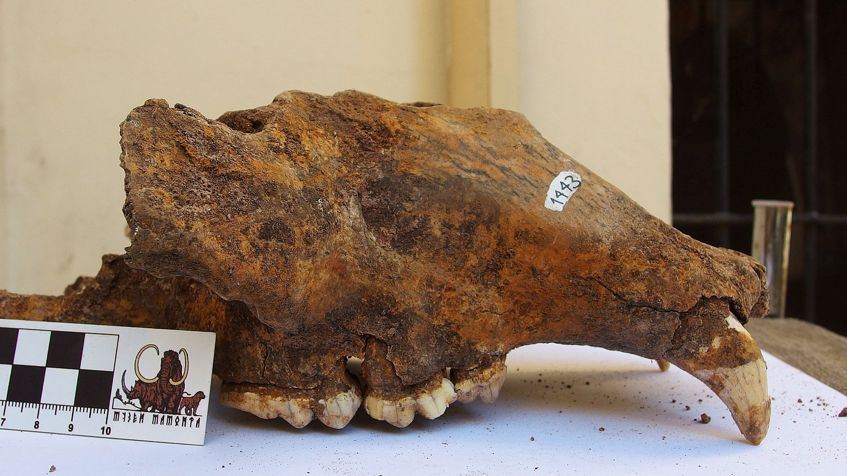 The skull of a cave bear from the last ice age found near Belgrade.