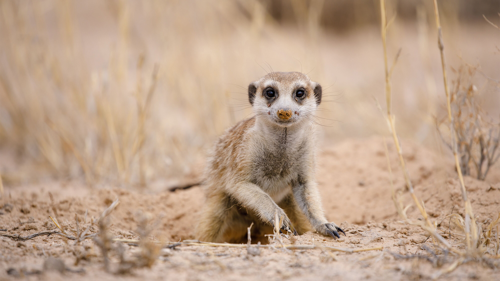 The Kalahari Meerkat Project collected detailed monthly life-history data between 1997 and 2016.