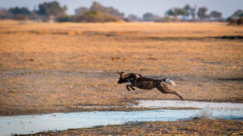 Image Wildhund