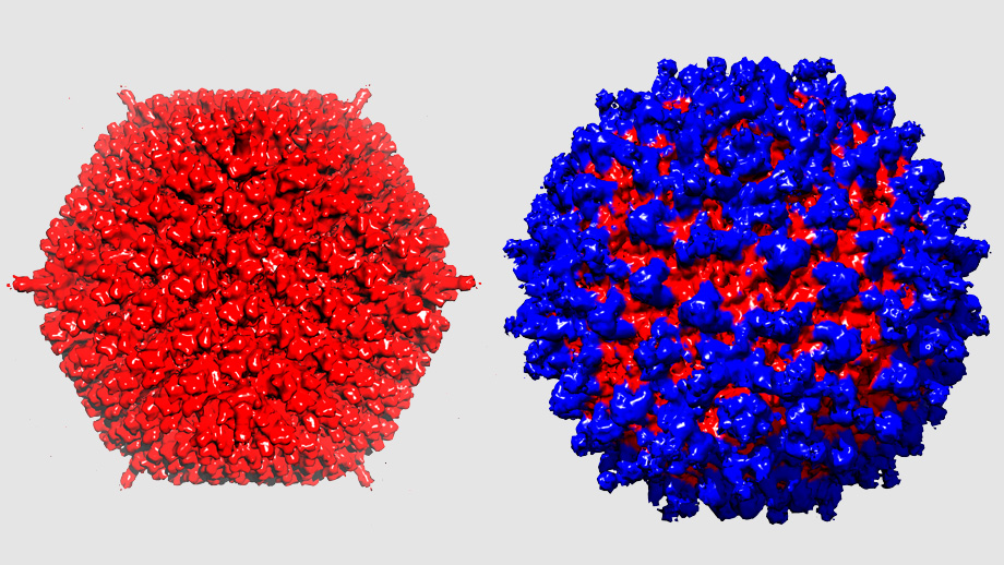Adenovirus without and with protein shield