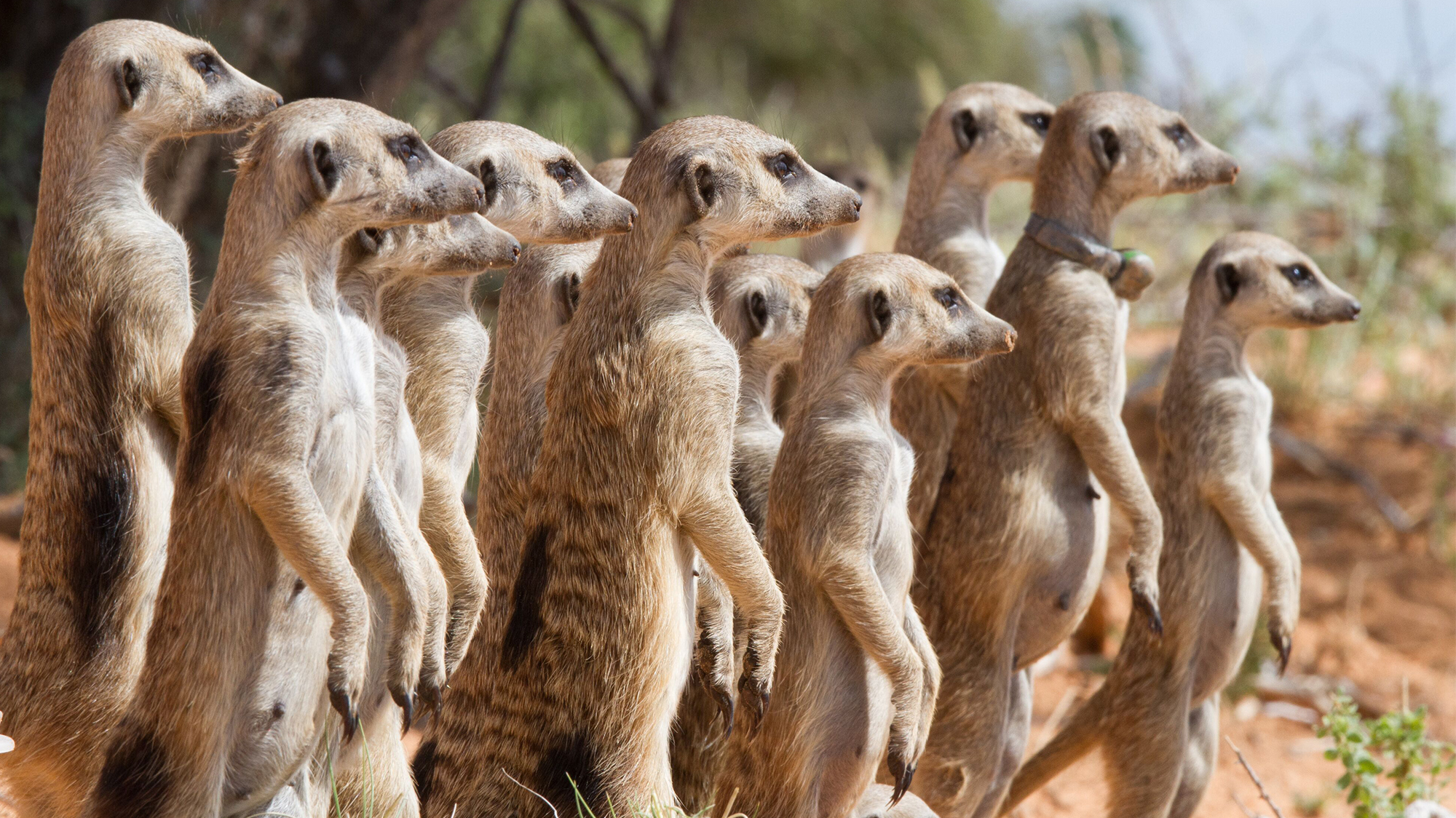 Meerkats are cooperative breeders that live in social groups. A dominant female monopolizes most of the reproduction, while subordinate helpers assist in raising her offspring. (UZH)