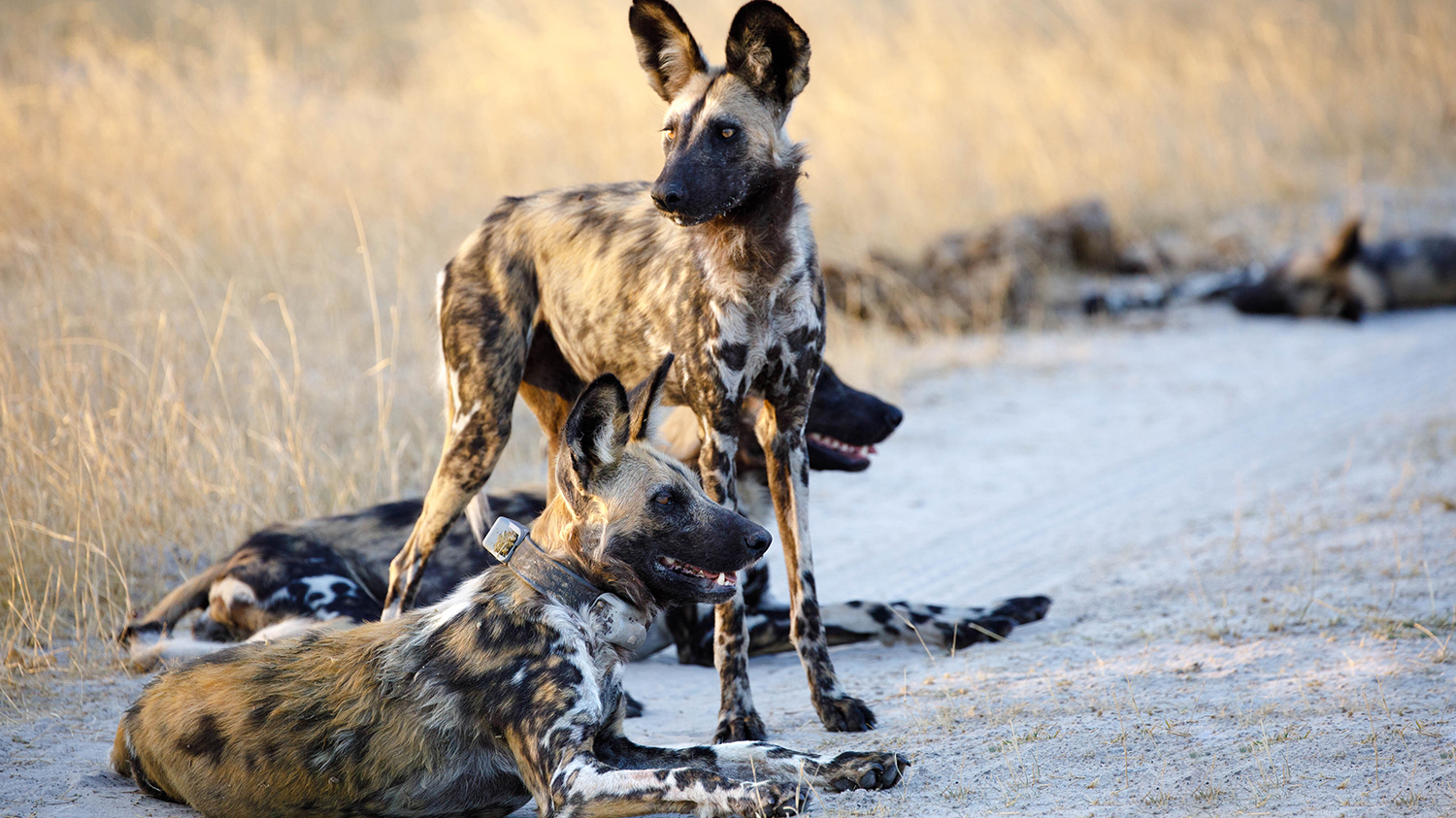 African wild dogs in the Moremi Game Reserve in northern Botswana. The dog in the foreground has been equipped with a GPS collar that enables researchers to track the routes taken during the animal's dispersal. (Image: Arpat Ozgul/UZH)