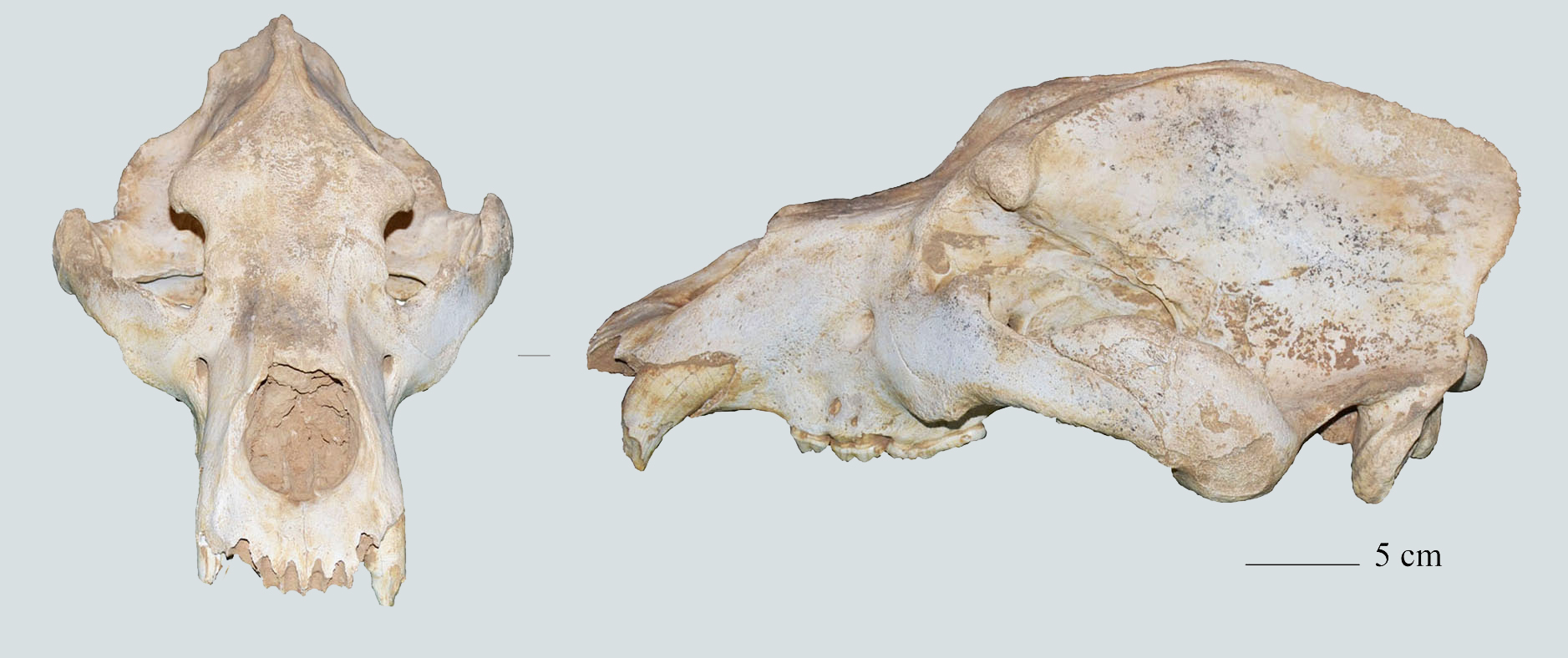 This cave bear skull from the late Pleistocene was found in a cave near Vincenza in Italy.