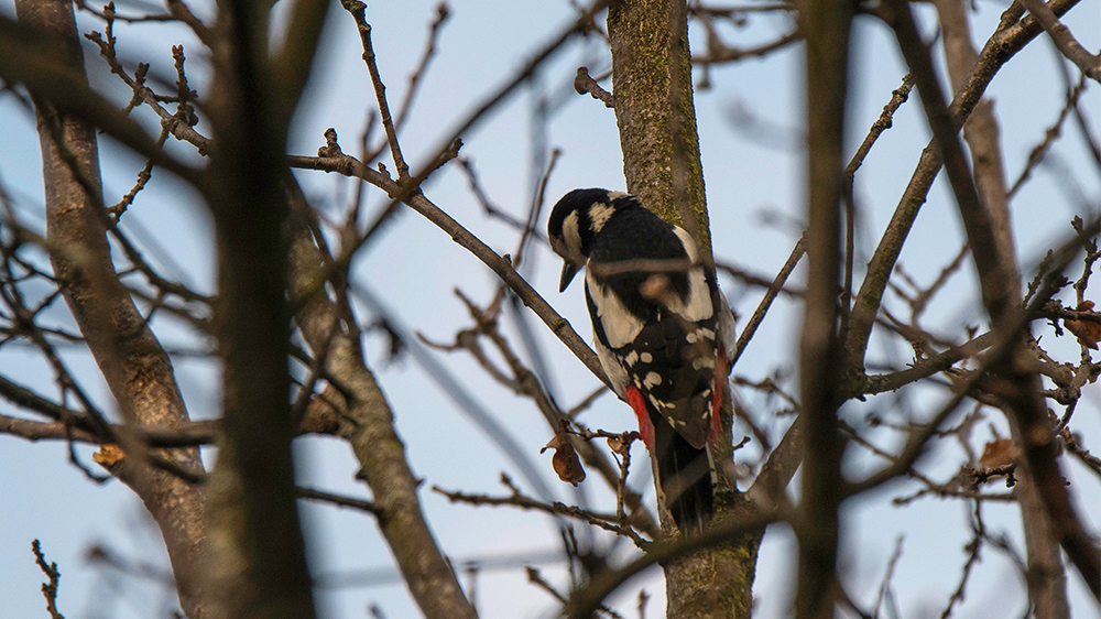 Great spotted woodpecker during the field experiment. (Picture: Alain Blanc (ENES team))