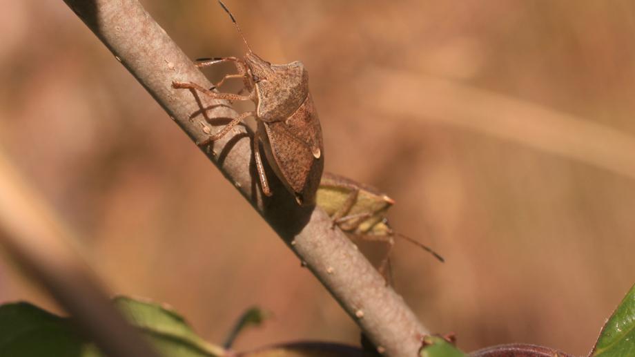 Die Baumwanze Podisus maculiventris (nrpphoto/istock)