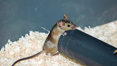 Picture of a house mouse in its barn