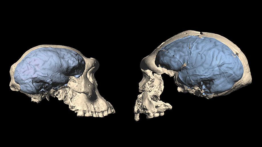 A side-by-side comparison of early Homo and ape-like skulls and brains