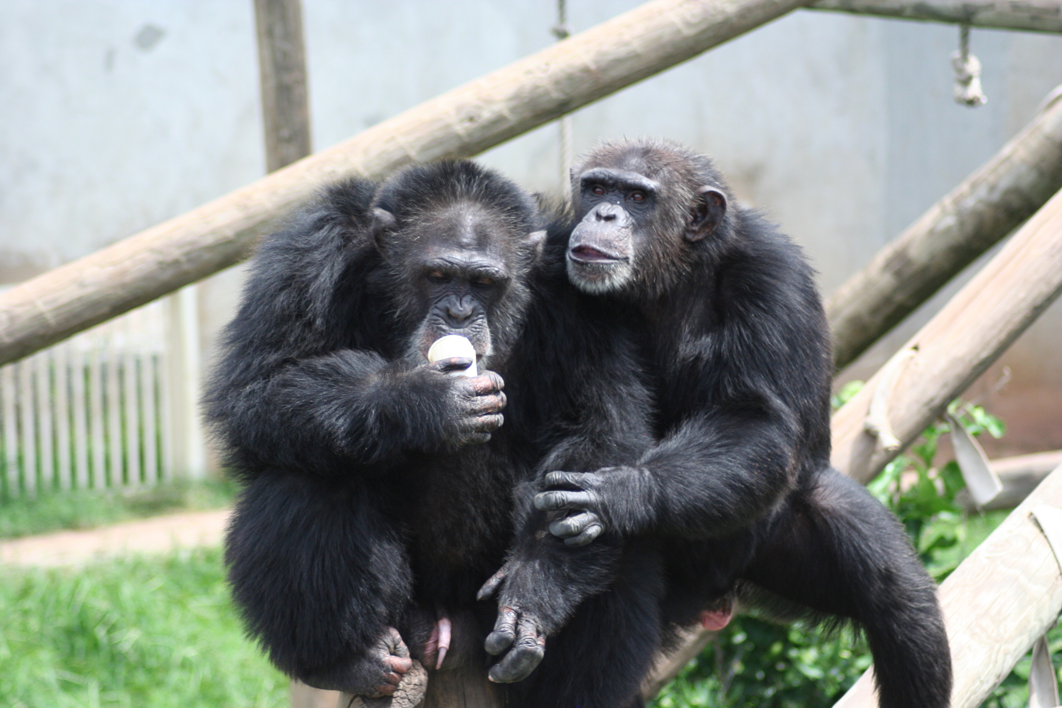 Two chimpanzees sit next to each other